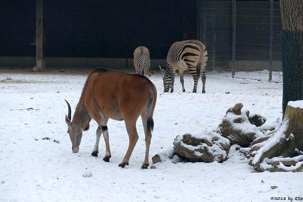Elenantilope, Hartmann-Bergzebra