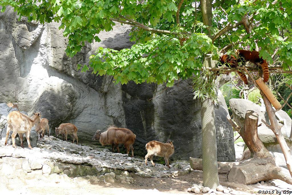 Mähnenspringer, Kleiner Panda