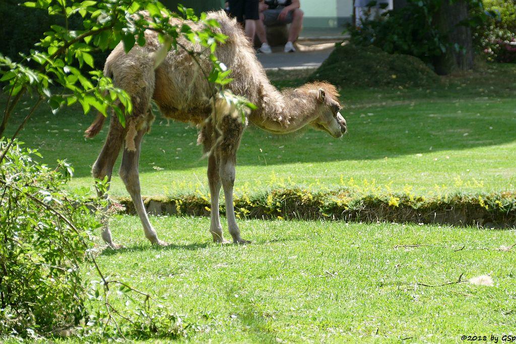 Trampeltier (Zweihöckriges Kamel), geb. am 10.4.18 (10 Wochen)