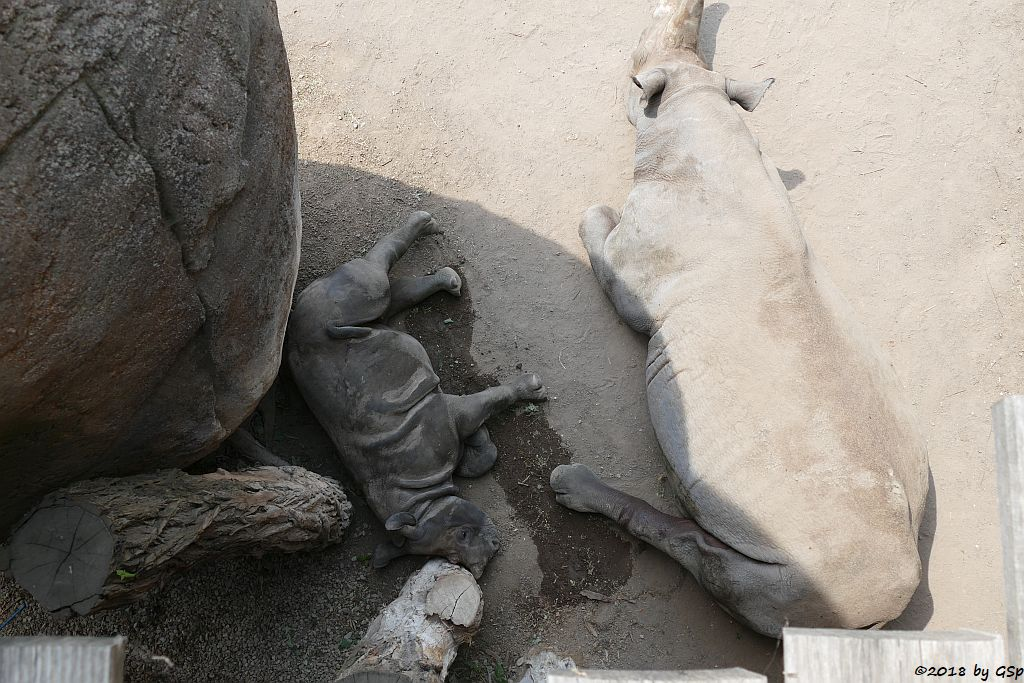 Spitzmaulnashorn (Spitzlippennashorn, Doppelnashorn) SUDAN, geb.5.12.17