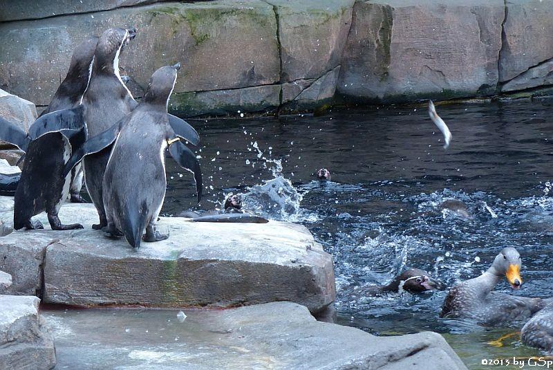 Humboldt-Pinguin, Magellan-Dampfschiffente
