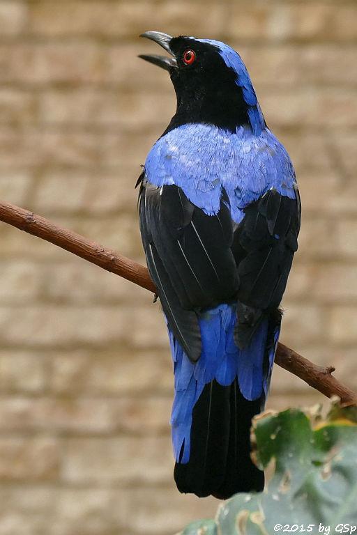 Elfenblauvogel