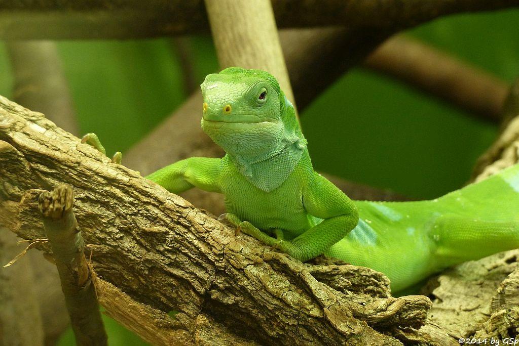 Fidschi Leguan