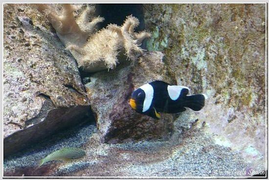 Sattelfleckanemonenfisch