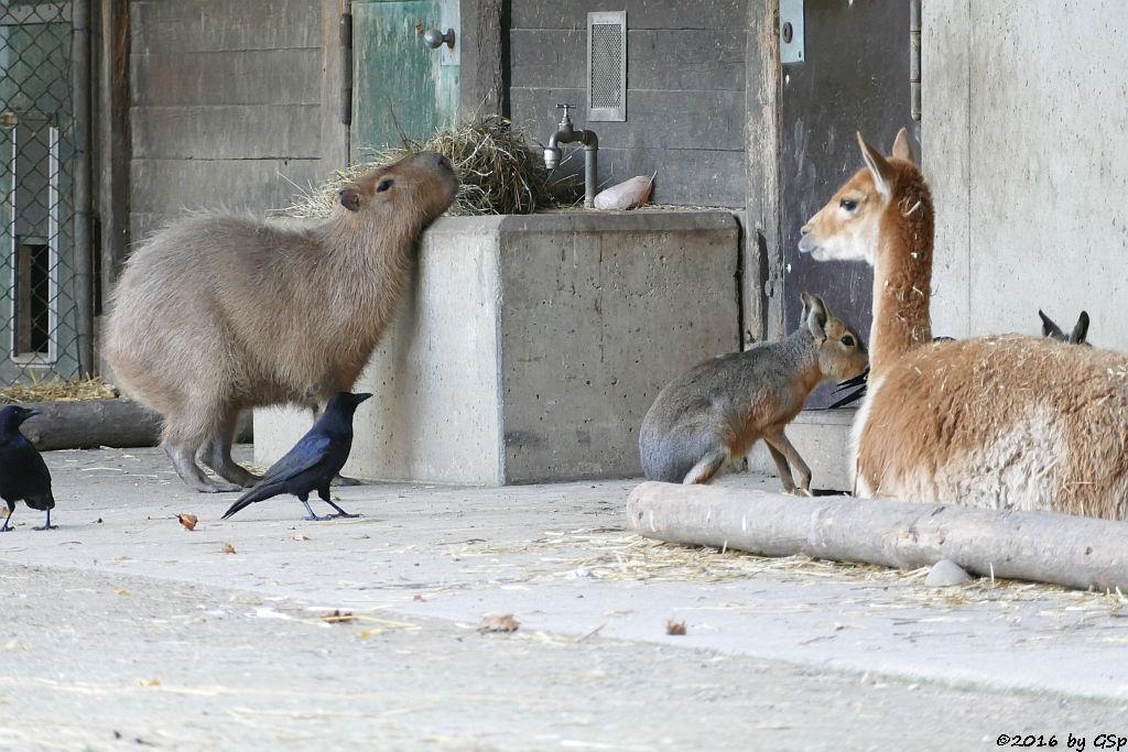 Wasserschwein (Capybara), Großer Mara (Pampashase), Vikunja