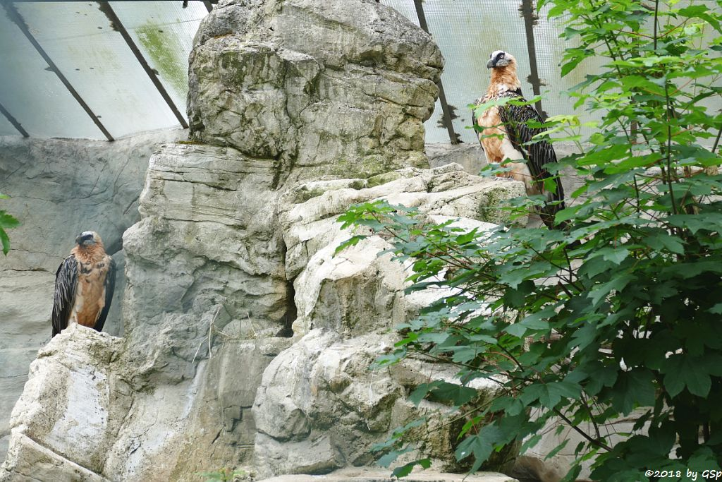 Eurasischer Bartgeier (Lämmergeier)