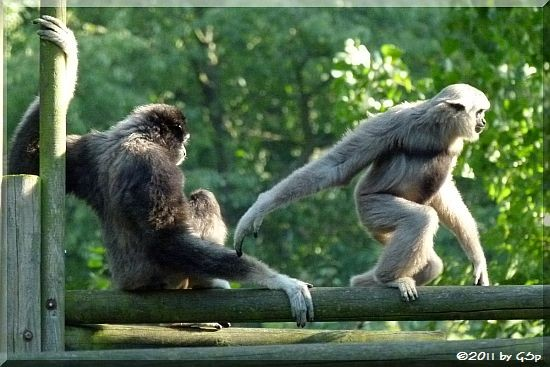 Gibbon-MischlingGibbon-Mischling