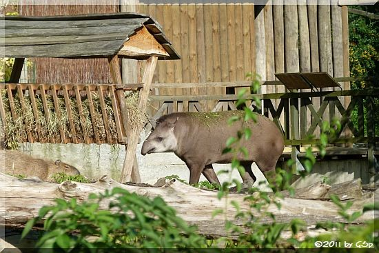 Capybara, Flachlandtapir
