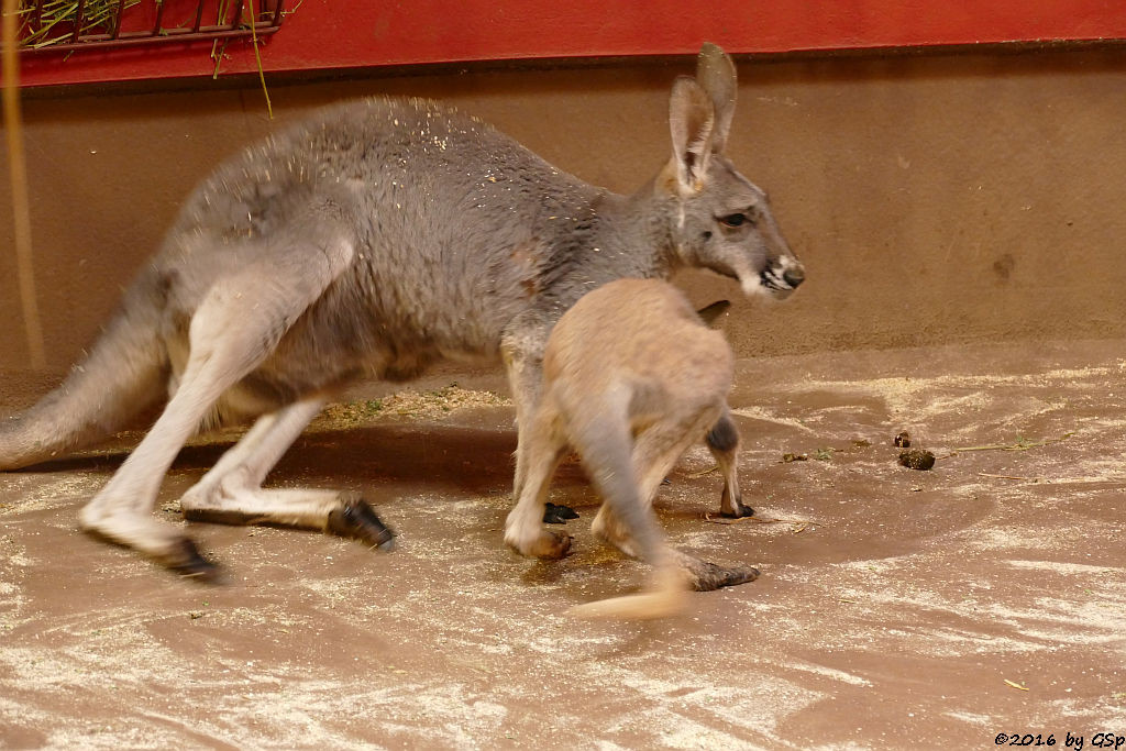 Rotes Riesenkänguru, Jungtier geb. Febr.2015