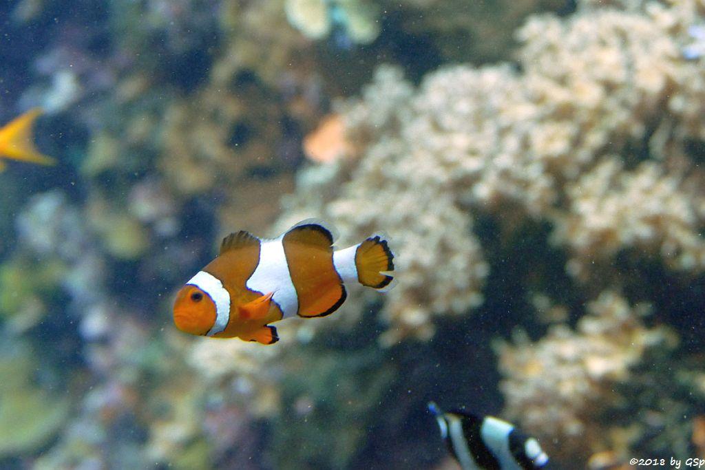 Orangeringelfisch (Westlichr Clownfisch, Orange-Ringel-Anemonenfisch)