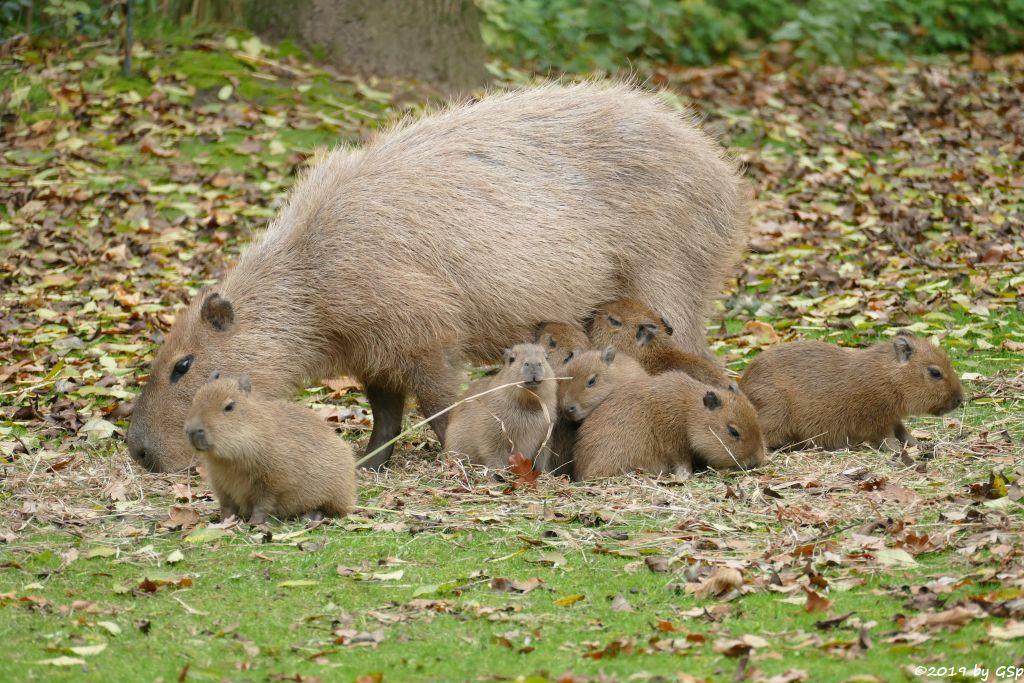Wasserschwein (Capybara), 4 Jungtiere geb. am 15.9. u. 3 weitere im Okt. 2019