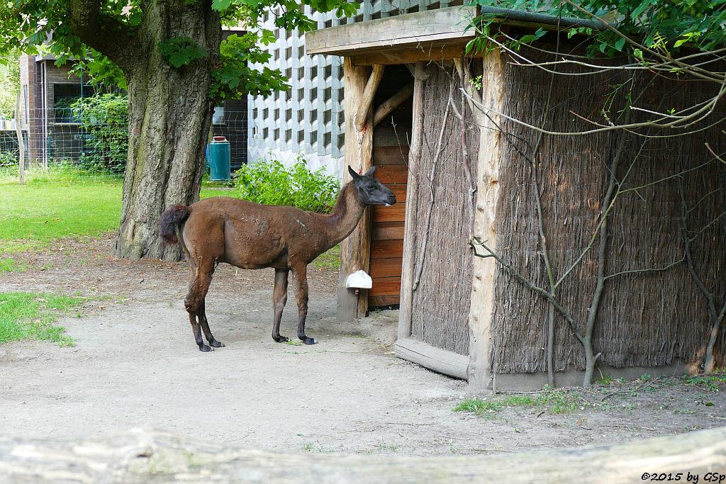 Lama HORST