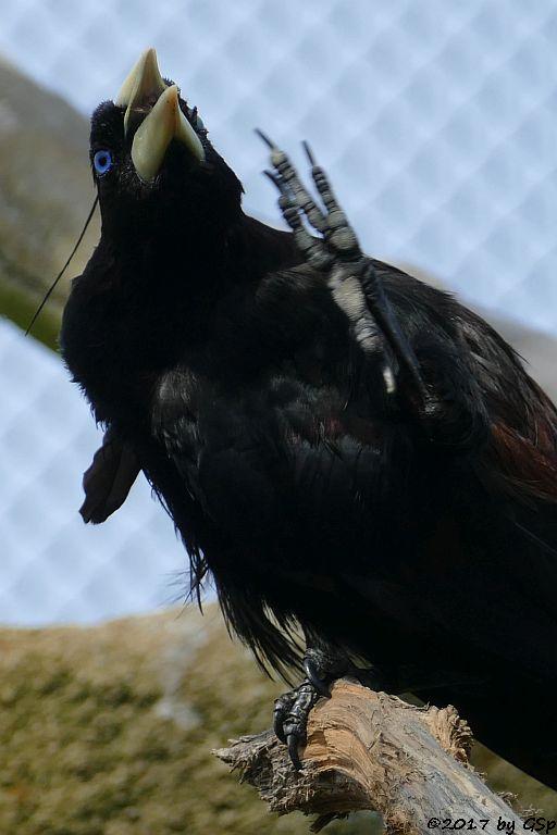 Krähenstirnvogel (Schwarzhaubenstärling)