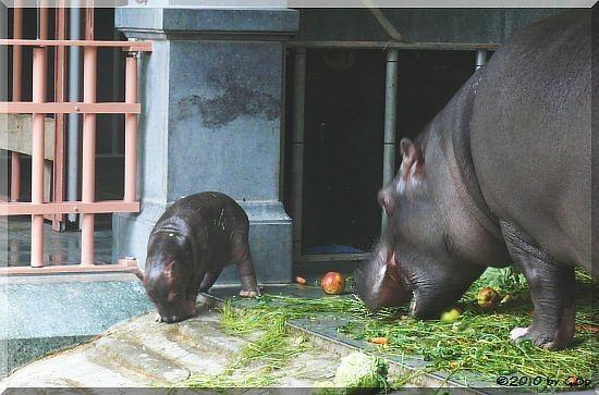 Flusspferd IMANI m.Jungtier (geb. am 22.05.10)