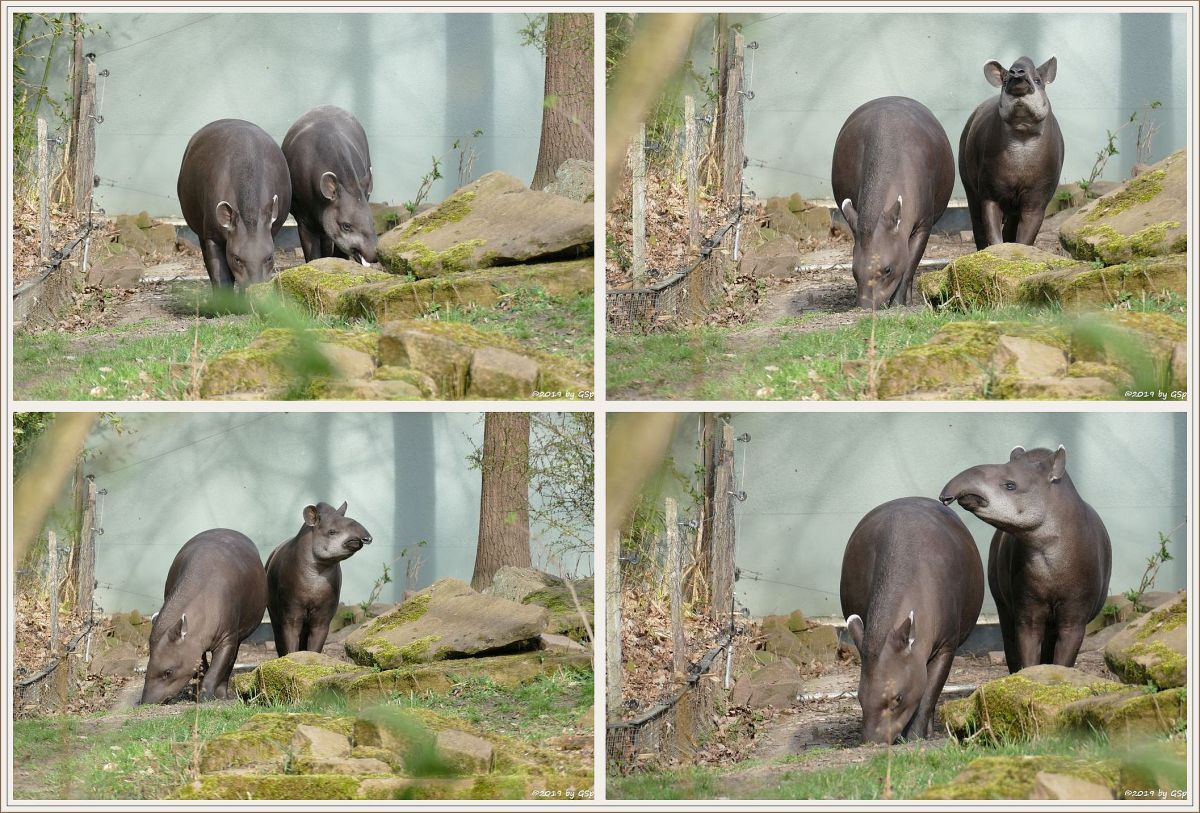 Flachlandtapir (Südamerikanischer Tapir)