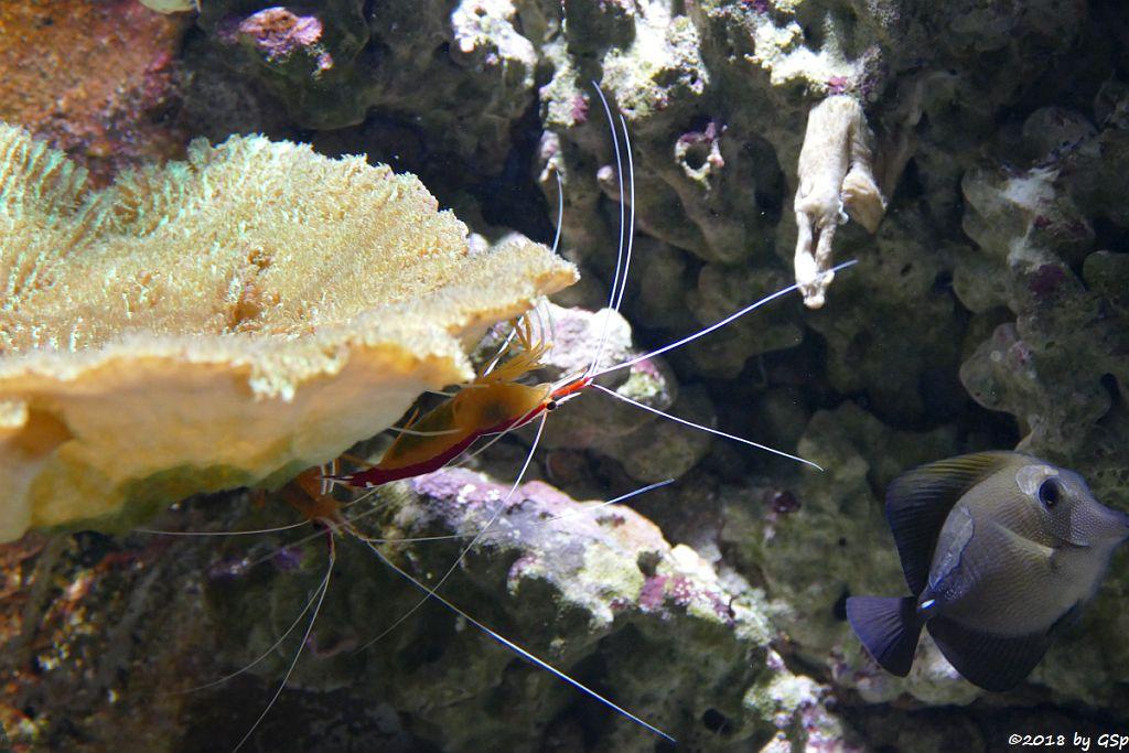 Indopazifische Weißband-Putzergarnele, Brauner Segeldoktorfisch (Weißdorn-Segeldoktorfisch, Brauner Segelseebader)