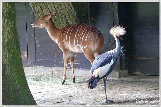 Nyala und Kronenkranich