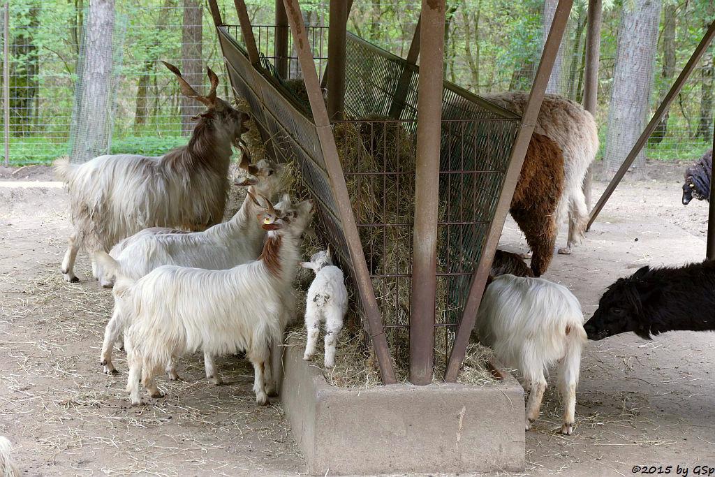 Girgentana-Ziege, Alpaka