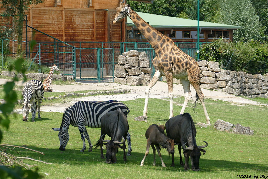 Böhm-Steppenzebra (Grantzebra), Streifengnu, Jungtier geb. am 14.5.16, Rothschildgiraffe (Uganda-Giraffe, Baringo-Gi