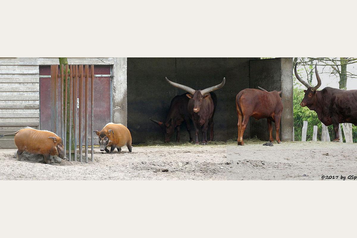 Pinselohrschwein, Watussi-Rind (Ankole)