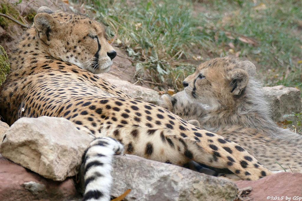 Nordöstlicher (Sudan-) Gepard, Jungtiere geb. am 9.5.15