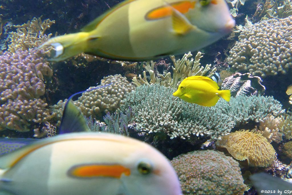 Orangefleck-Doktorfisch, Gelber Segelflossen-Doktorfisch Zitronenflossen-Doktorfisch, Hawaii-Doktorfisch
