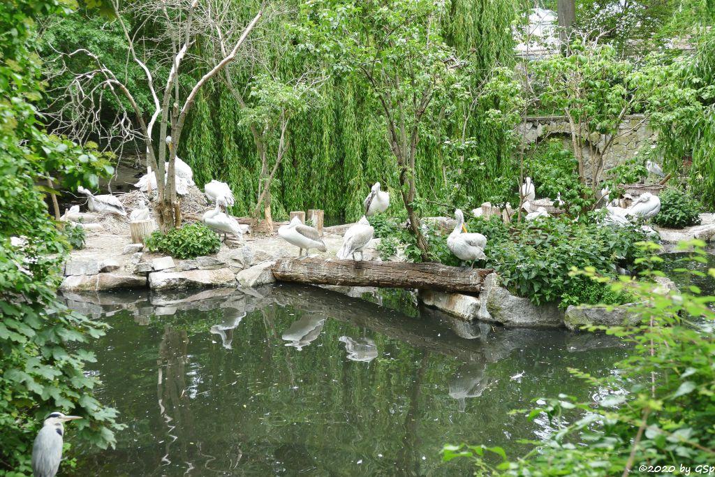 Krauskopfpelikan, Brillenpelikan (Austral.Pelikan), Rötelpelikan (Rotrückenpelikan)