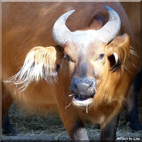 Rotbüffel