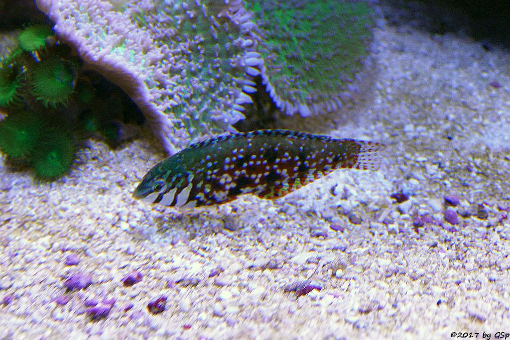 Mauritius-Lippfisch