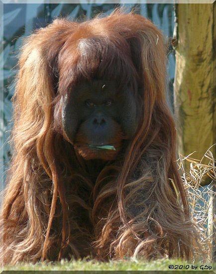 Sumatra-Orang-Utan VLADIMIR