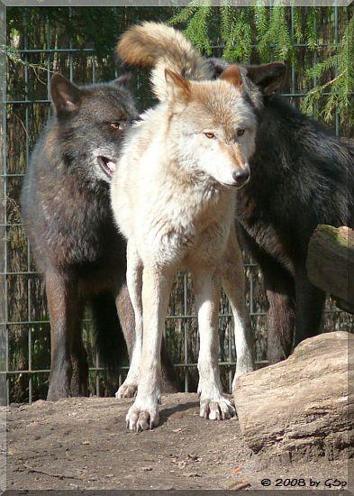 Timberwolf (vor dem Umzug nach Yukon Bay)