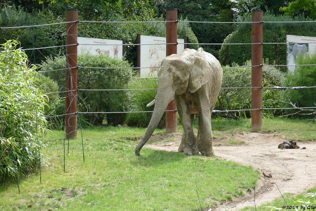 Afrikanischer Elefant ARUBA