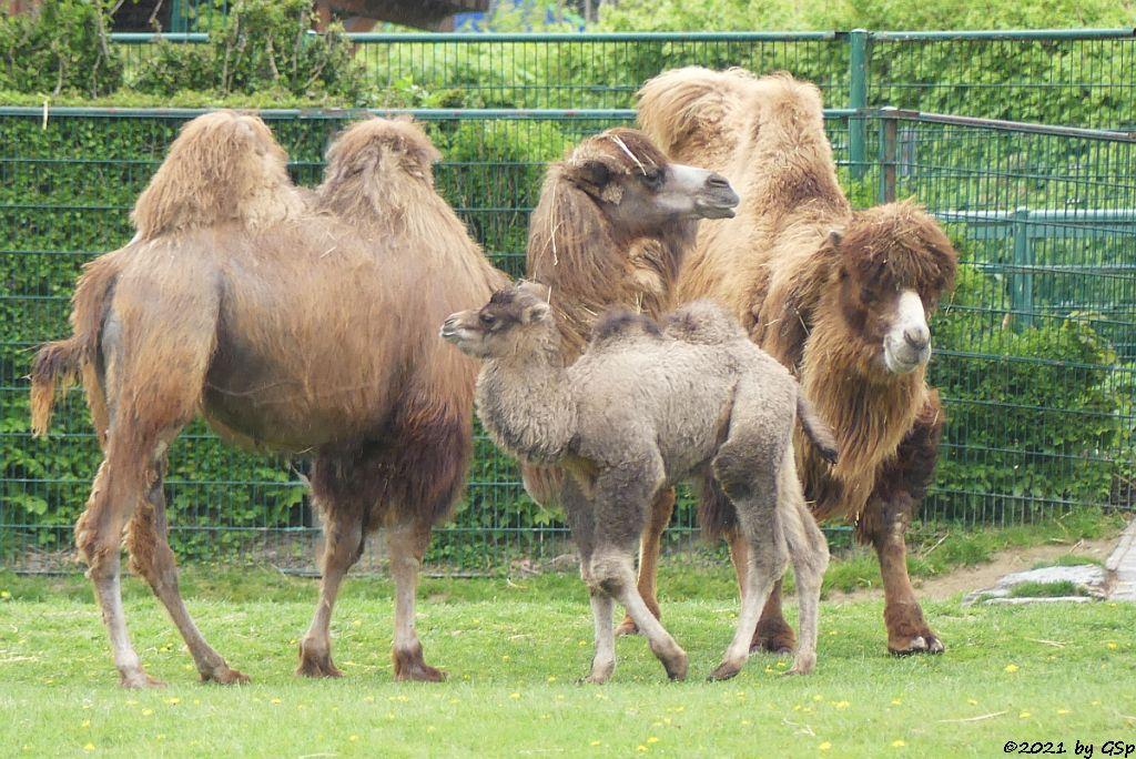 Trampeltier (Zweihöckriges Kamel, Hauskamel),  Jungtier CONNOR geb am 7.4.21