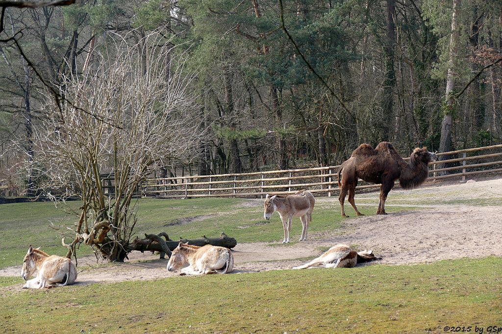 Kulan (Turkmenischer Halbesel) und Trampeltier