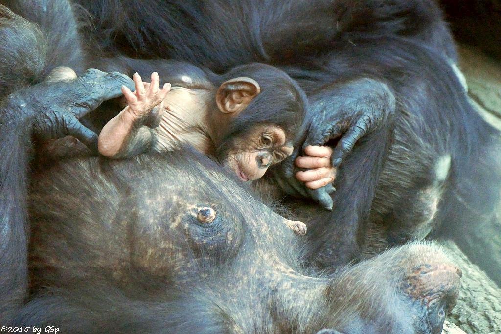 Schimpanse, Jungtier geb. am 14.4.15