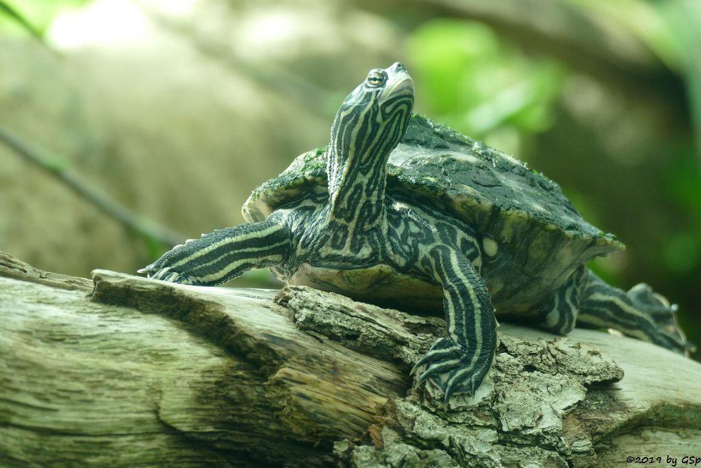 Sägerücken-Schildkröte (Schwarzkopf-Höckerschildkröte)