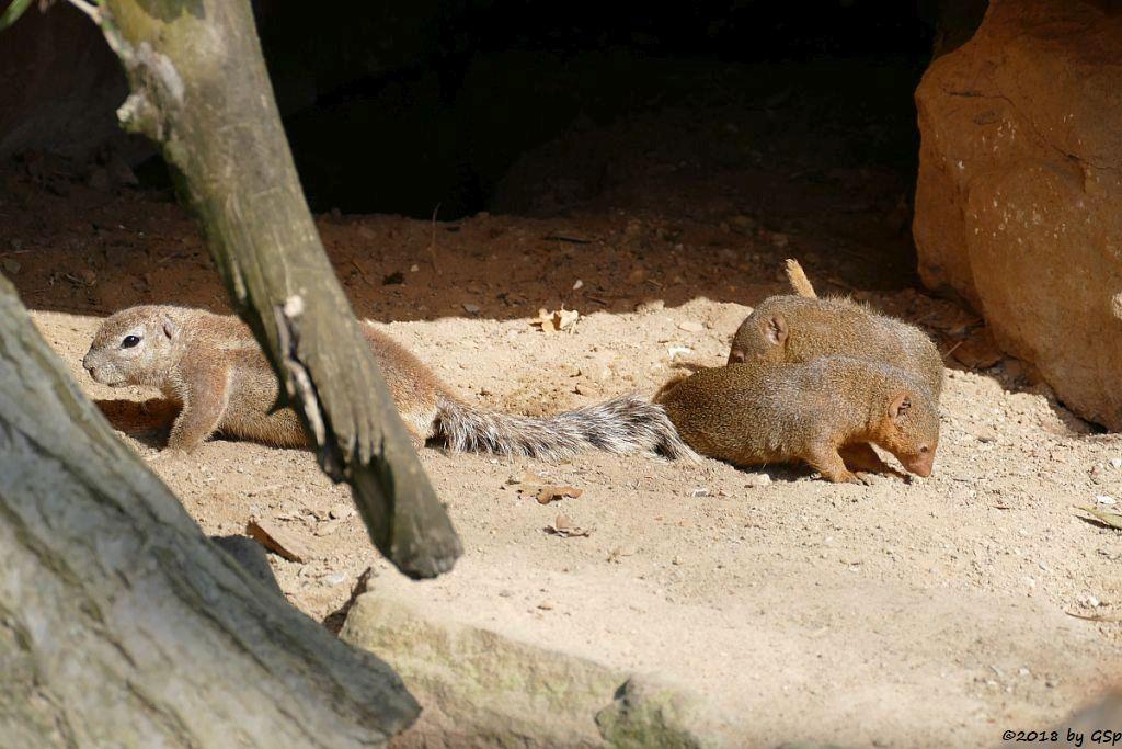 Kap-Borstenhörnchen, Zwergmanguste (Zwergmungo)