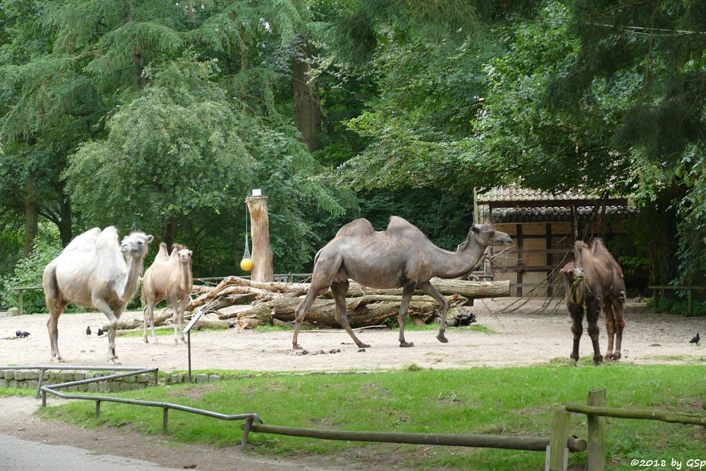 Trampeltier (Zweihöckriges Kamel, Hauskamel)Trampeltier (Zweihöckriges Kamel, Hauskamel)