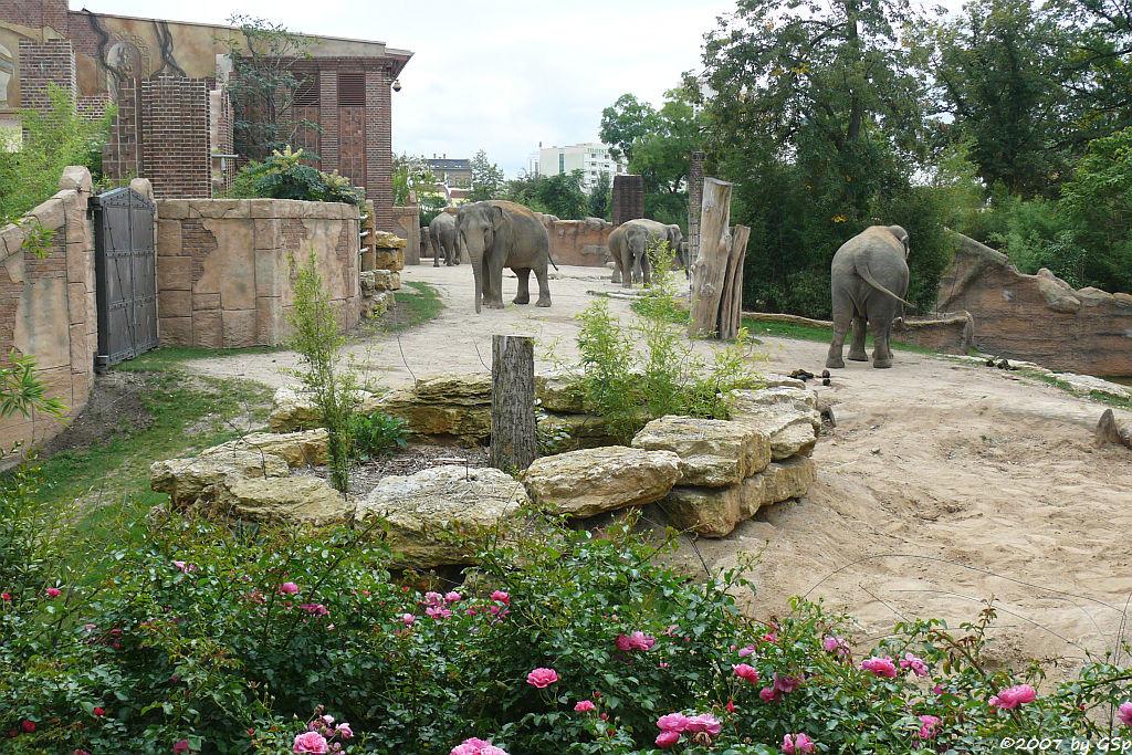 Asiatische Elefanten - 55 Fotos