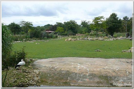 Weißstorch in der Kiwara-Savanne