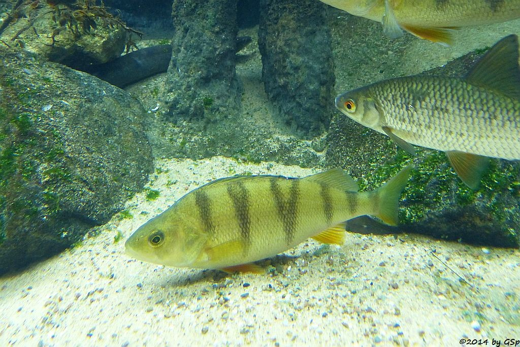 Europäischer Aal, Flussbarsch, Rapfen