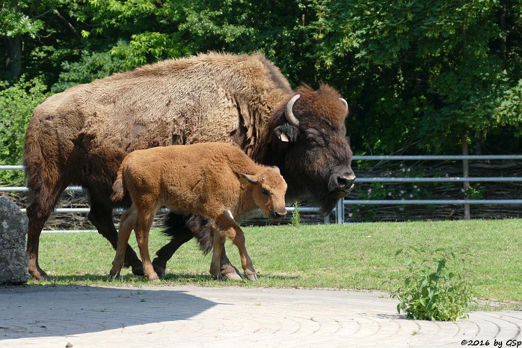 Amerikanischer Präriebison, Jungtiere geb. am 20. und 23.4.16