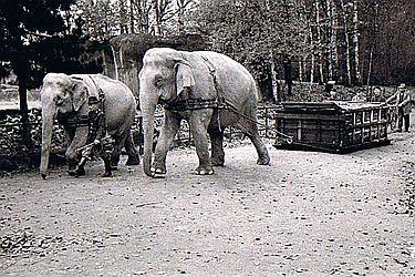 Effektive Zugmaschinen: Noch in den fünfziger Jahren wurden Elefanaten als Arbeitstiere im Park eingesetzt.