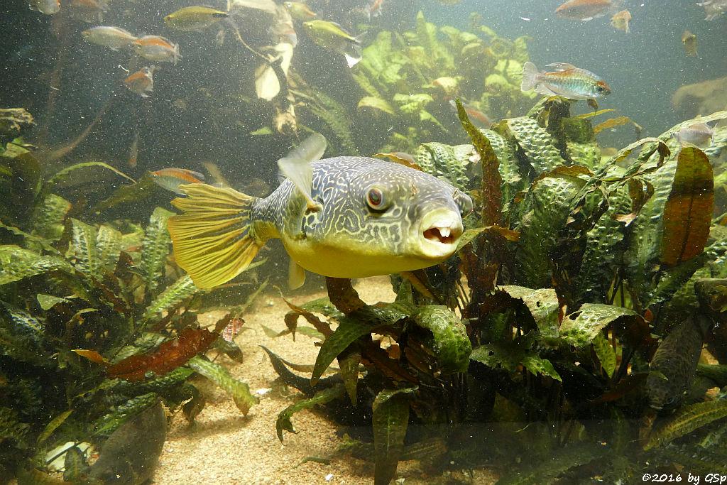 Goldringel-Kugelfisch (Riesenkugelfisch, Teppichkugelfisch), Blauer Kongosalmler (Kongosalmler)