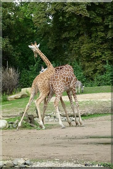 Westafrikan. Giraffe (Kordofan-Giraffe) DIKO und Netzgiraffe ULEMBO