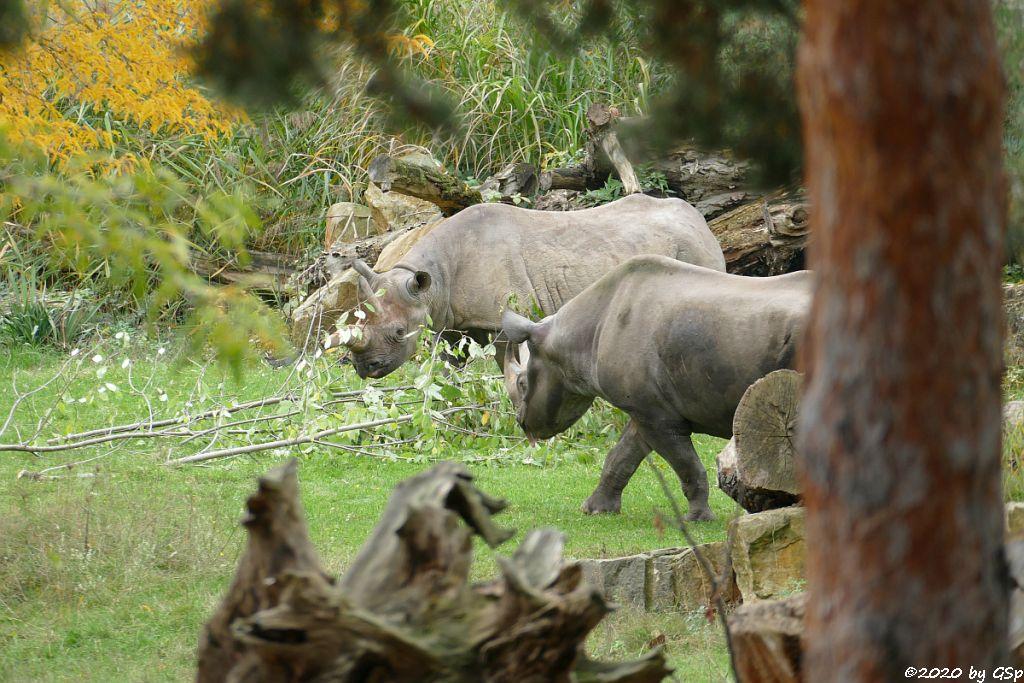 Ostafrikanisches Spitzmaulnashorn (Östliches Spitzmaulnashorn) SABA und NDUGU( † 4.2.21)
