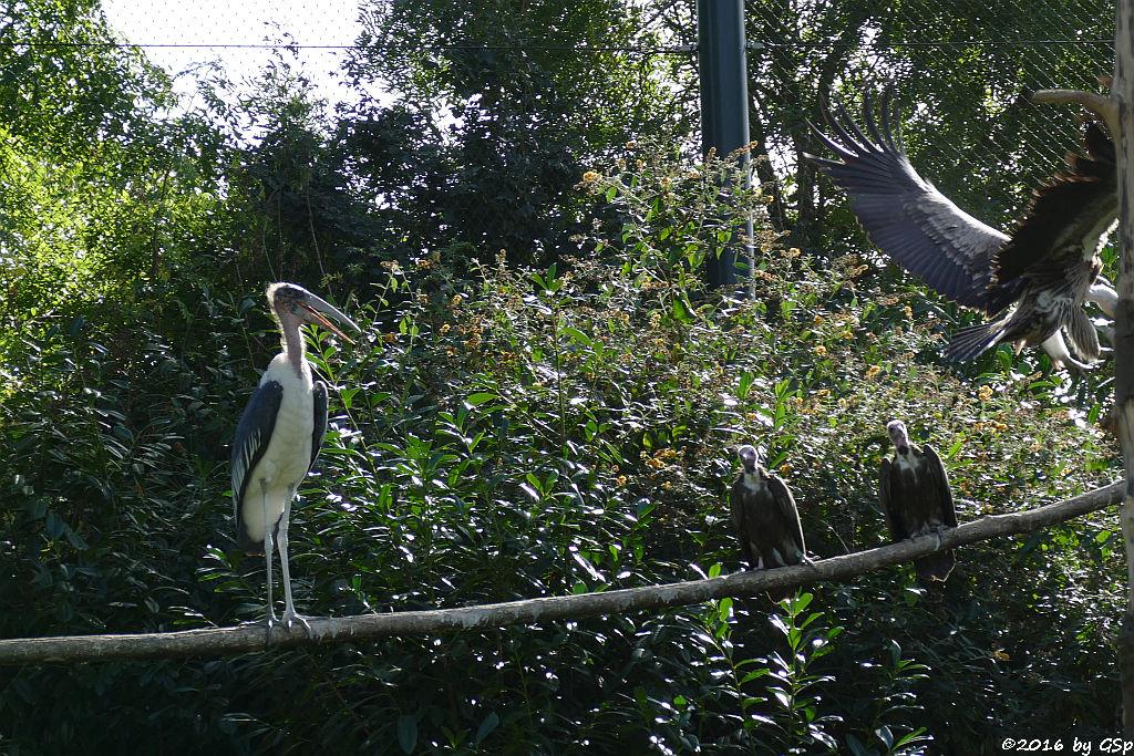 Marabu, Kappengeier, Weißrückengeier (Zwerggänsegeier)