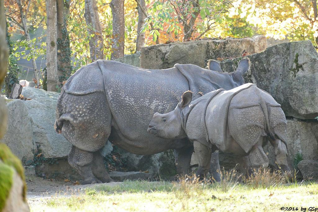 Panzernashorn (Indisches Panzernashorn) RAPTI mit Sohn PURI, geb. am 31.8.15
