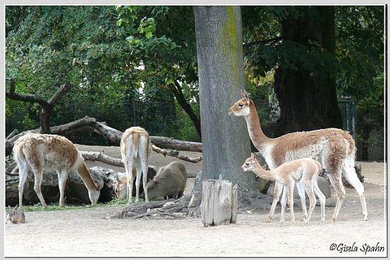 Vikunja und Capybara