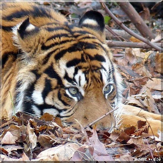 Sumatratiger IBAN
